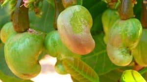 Cashew market report Cornhouse