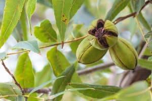 Pecans ripening on the tree