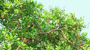 Cashew tree, cover picture cashew market report Sept. 2020