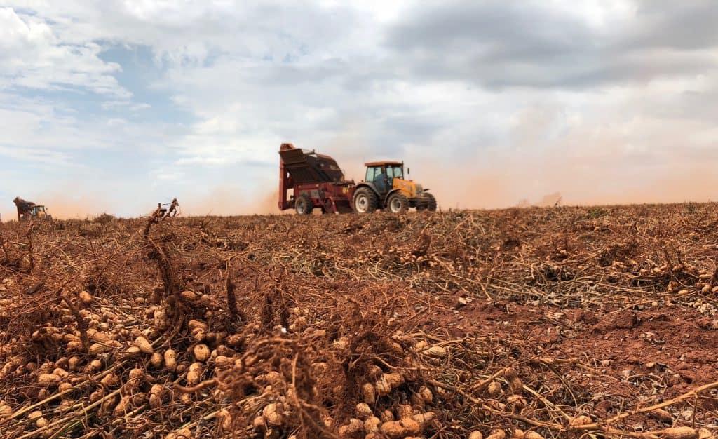 Peanut harvest October 2020