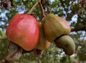 Cashew market report November 2020