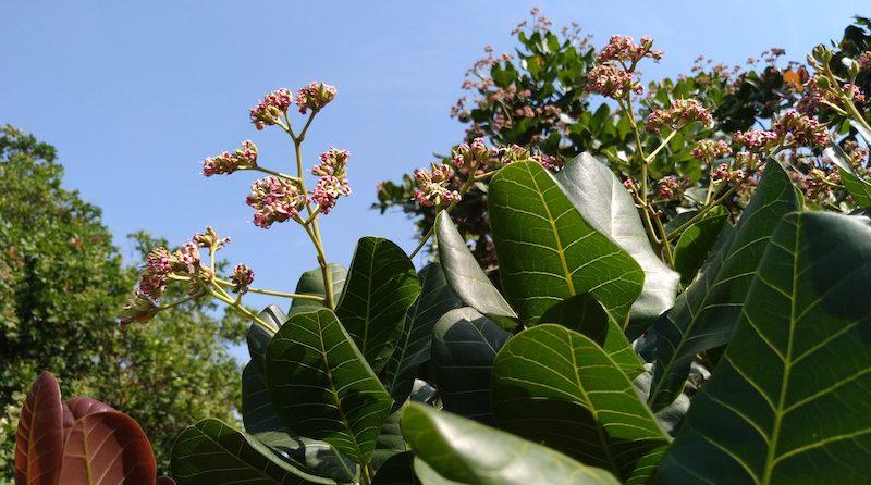 cashews flowering in December 2020 in Vietnam