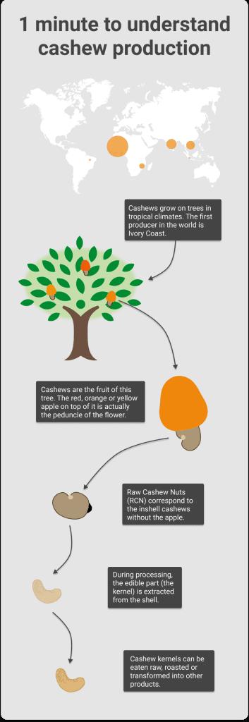 Cashew production explained - Cashew farmer