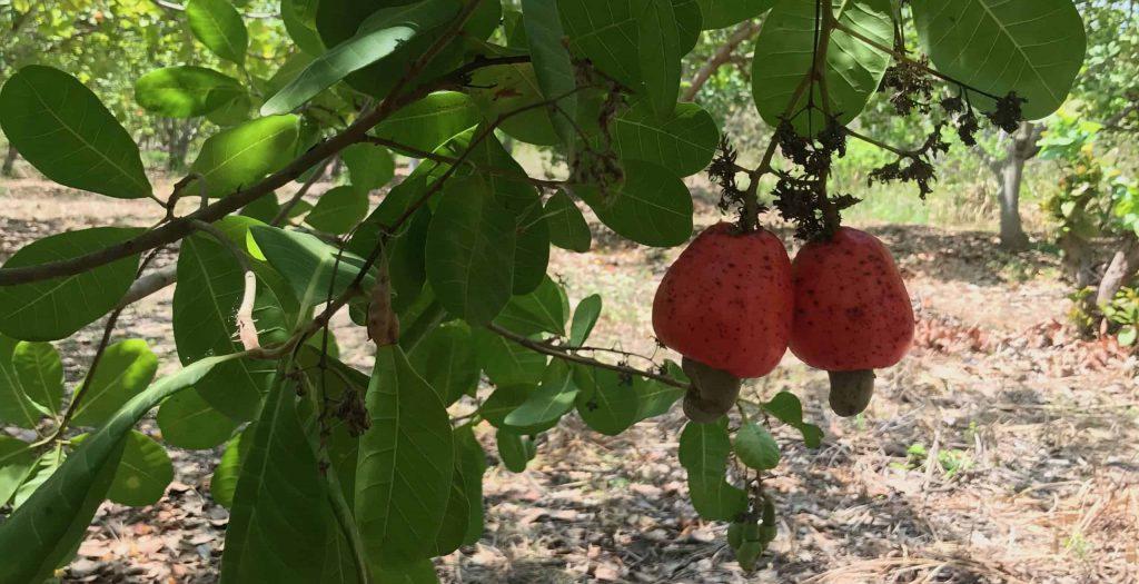 Cashew apples in IVC
