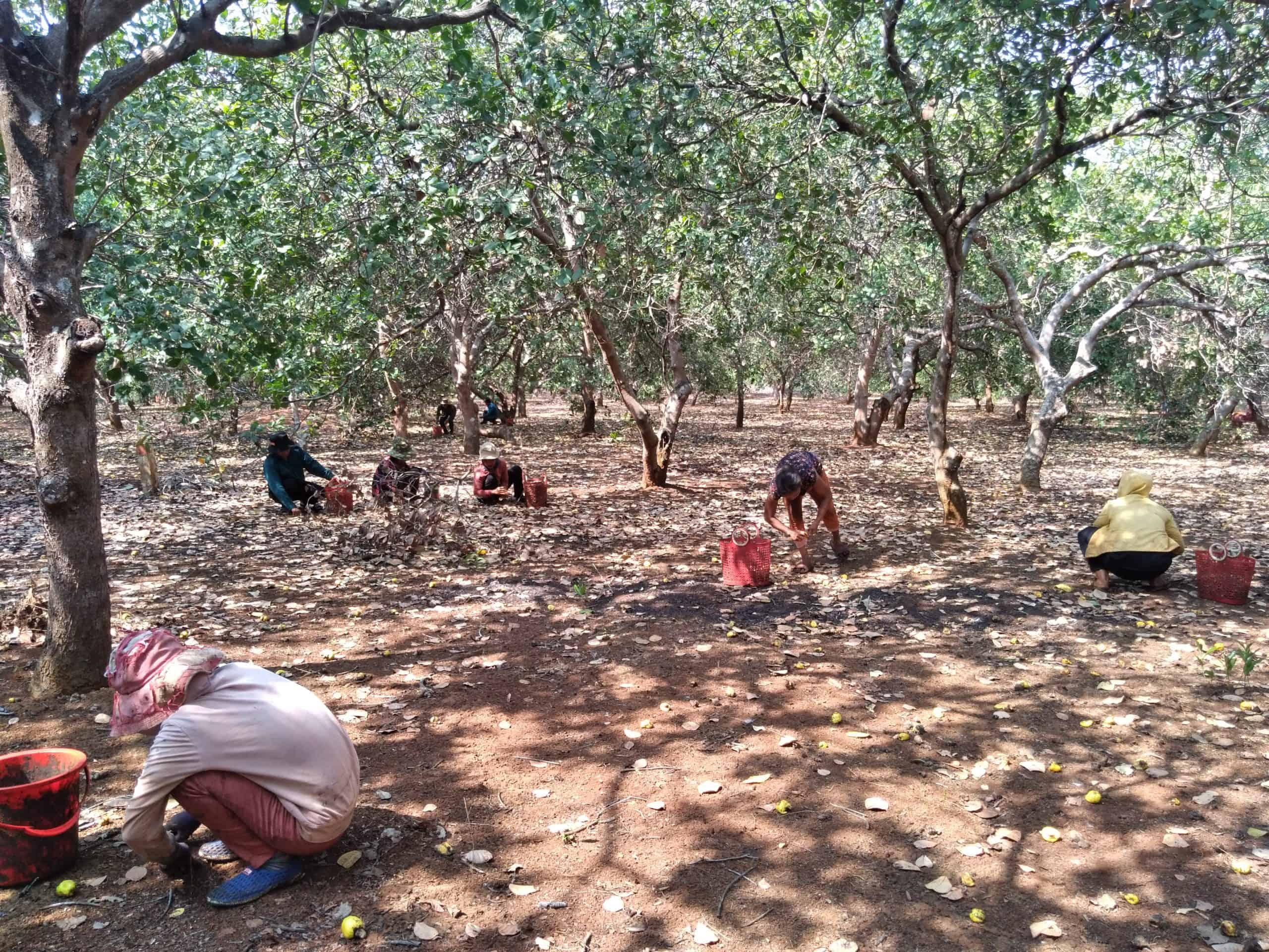 Cashew farmers harvesting