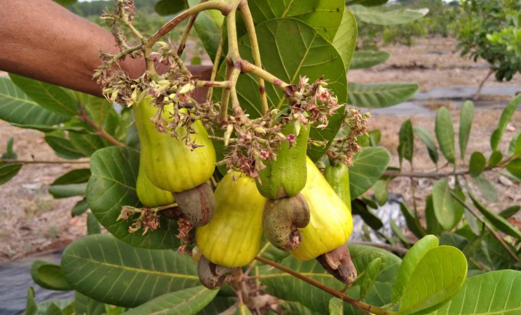 Cashew nuts in tree