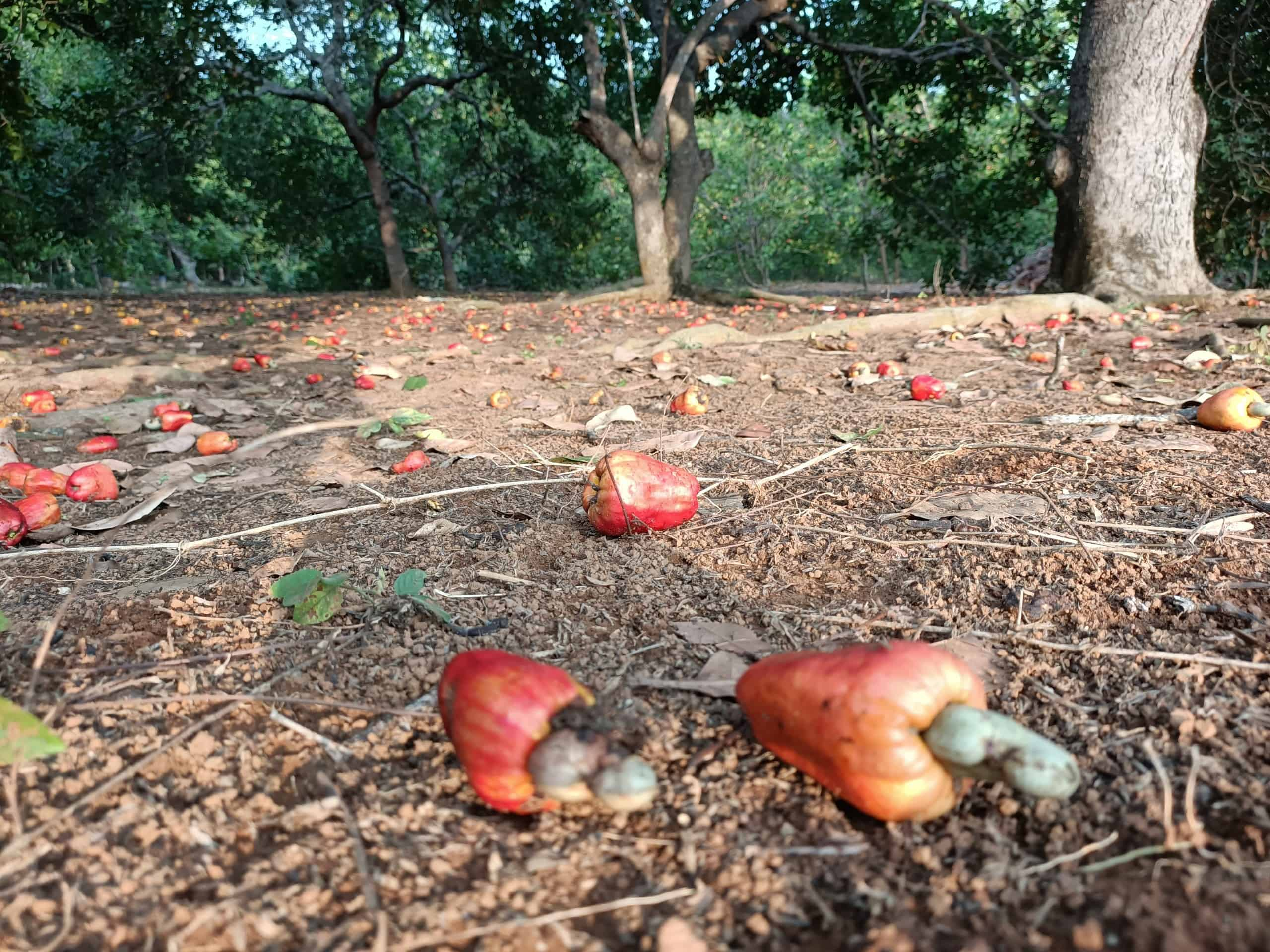 Cashews ready to be picked up