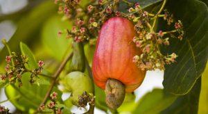 Cashew market report May 2021