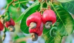 Cashew market report August 2021
