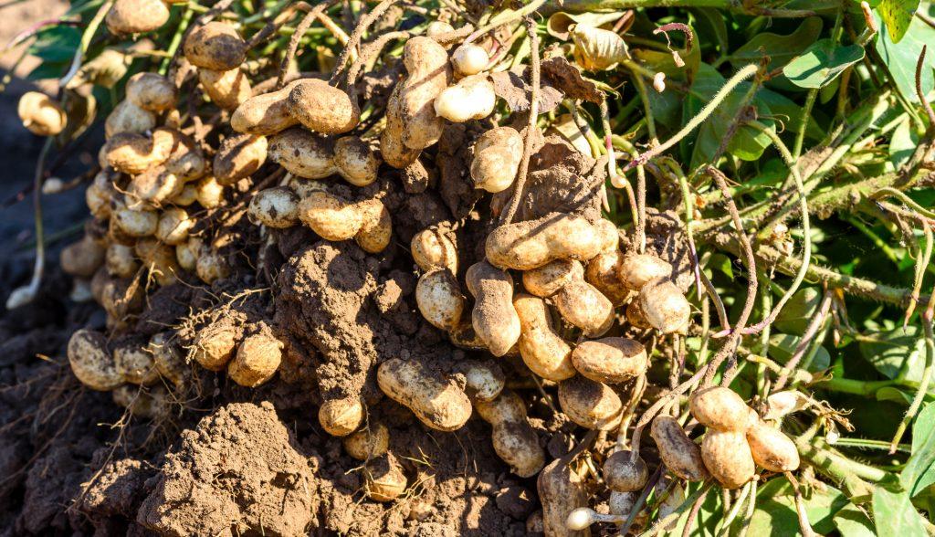Peanut market report September 2021