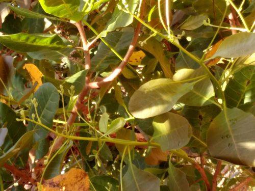 Cashew leaves on tree Vietnam
