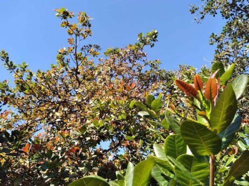 Cashew tree Vietnam December 2020
