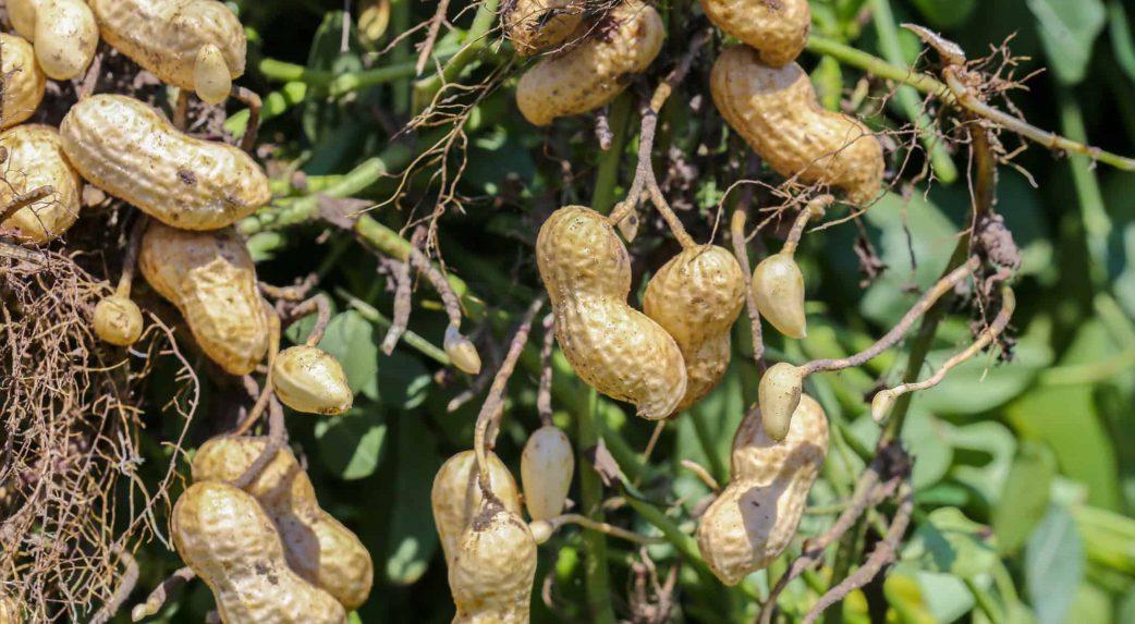 Peanut market report March 2021