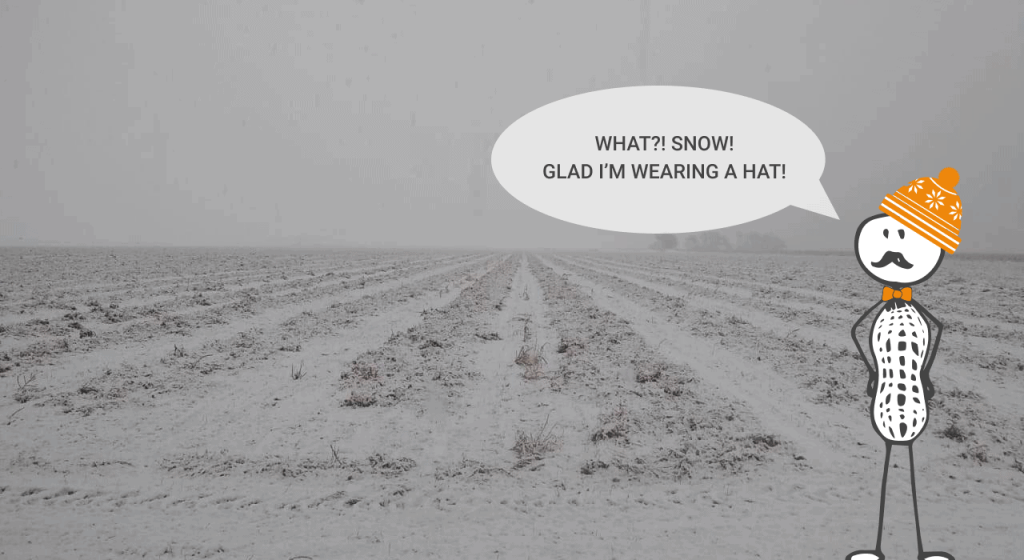 Snow during peanut harvest ARG