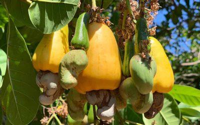 Cashews Cornhouse B.V.